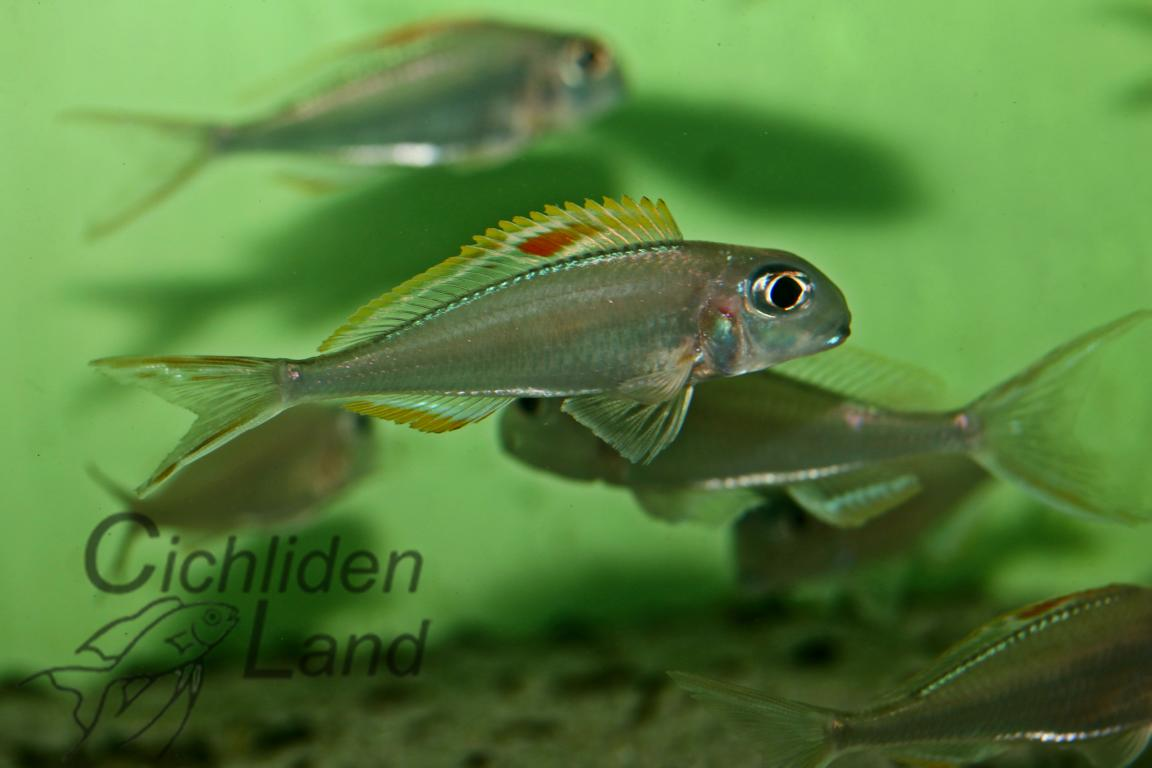 Xenotilapia red princess