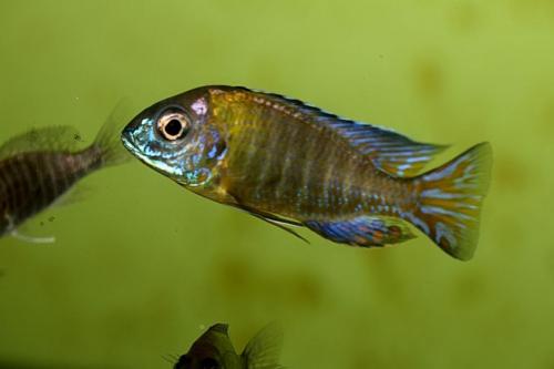 Aulonocara blue neon