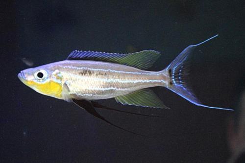 Benthochromis