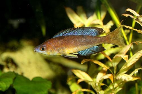 Cyprichromis microlepidotus karilani