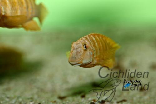 Eretmodus cyanostictus orange kigoma