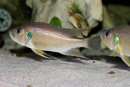 Greenwoodochromis bellcrossi