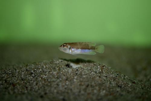 Lamprologus ocellatus kitumba