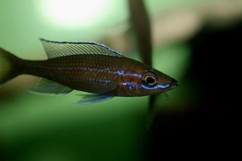 Paracyprichromis blue neon tanzania south