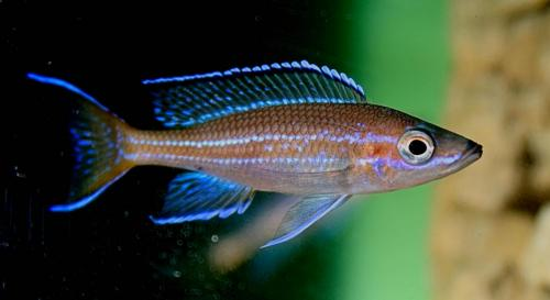 vParacyprichromis blue neon tanzania south