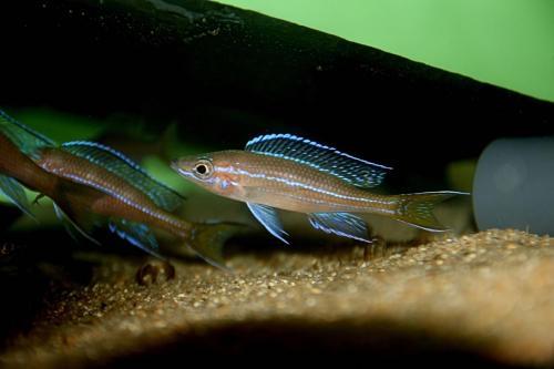 Paracyprichromis blue neon tanzania south1