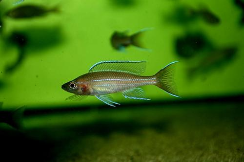 Paracyprichromis blue neon tanzania south2