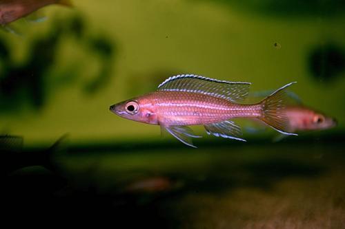 Paracyprichromis blue neon tanzania south5