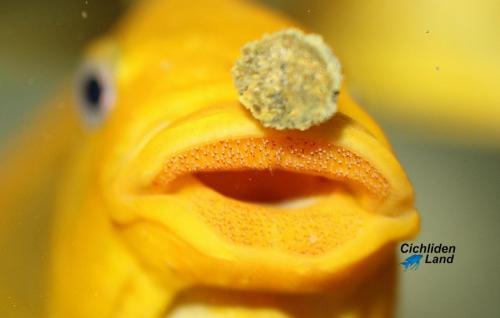 Petrochromis yellow moshi